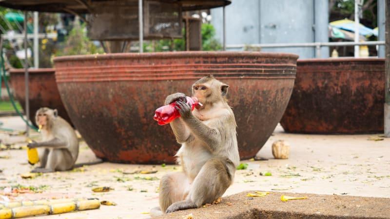 タイの猿に占拠された街「ロッブリー」で写真を撮っていたら猿にメガネを盗まれた!