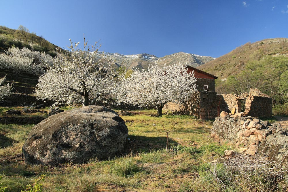 jerte valley cherry blossom