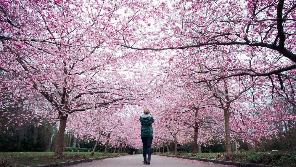 cherry blossom copenhagen