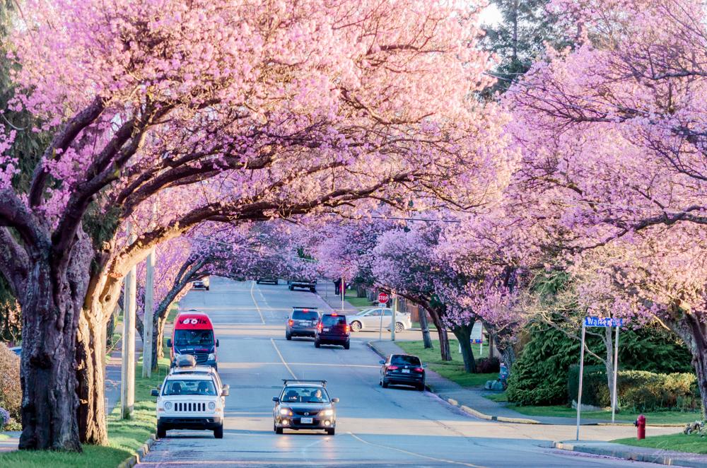 cherry blossom in british columbia