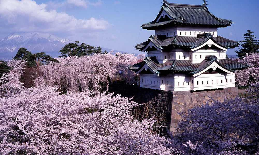 cherry blossom in hirosaki