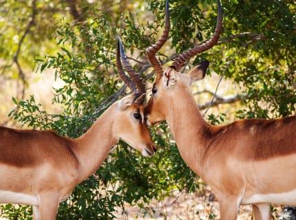 Südafrika.Antilophen