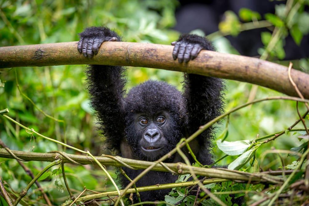 Gorilla hängt am Ast