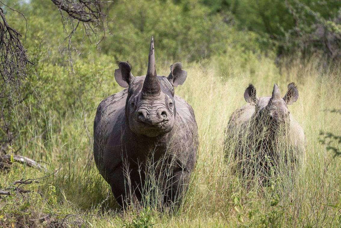 Nashörner auf Safari im Krüger Nationalpark in Südafrika
