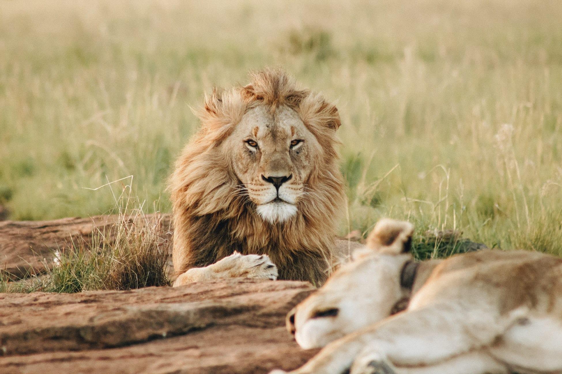 Löwe auf Safari im Krüger Nationalpark in Südafrika