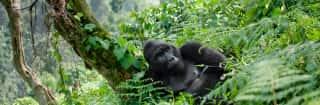 Uganda.Gorilla in Regenwald
