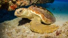 CR.Cahuita Nationalpark Schildkröte