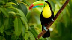 CR.Cahuita Nationalpark Tukan