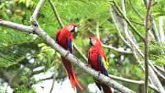 CR.Nationalpark Corcovado Papagei