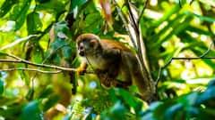 CR.Cahuita Nationalpark Affe