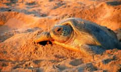 Schildkröte im Oman