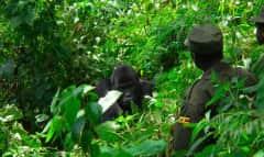 Guides & Gorilla