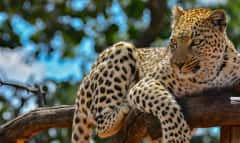 NAM.Leopard