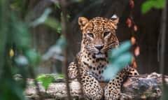 LK.leopard