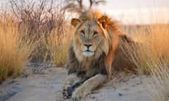 BOTS.kalahari lion