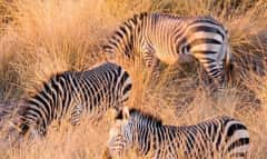 Zebras im Grass