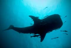 WhaleShark4