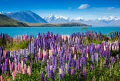 NZL. lupin flowers