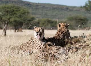 NAM.Okonjima Nature Reserve.Wildkatzen