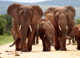 ZAF.Addo Elephant NP.Elephants