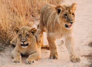 ZAF.Krüger NP.Baby Löwen im Sand