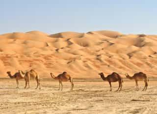 OMN.Wahiba Sands.Kamele