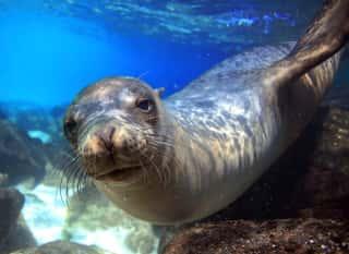 ECU.Galápagos.Seelöwe Unterwasser