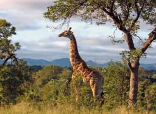 ZAF.Krüger Nationalpark.Giraffe