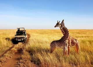 ZAF.Krüger Nationalpark.Giraffen