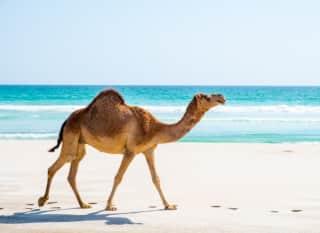 OMN.Salalah.Kamel am Strand