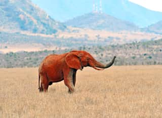 Kenia.Elefant Tsavo Ost