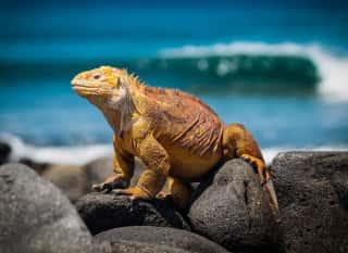 Ecuador.Galápagos.Echse