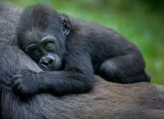 Ruanda.Berggorilla