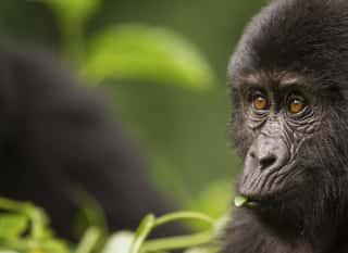 KGL.Ruanda.Gorilla