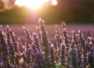 GEN.Lavendelfeld