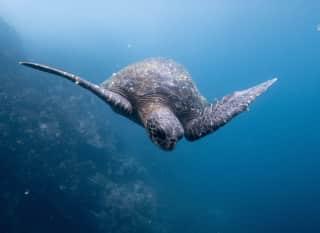 EC.Galapagos-Schildkröte