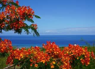 La Réunion.Flamboyant Baum