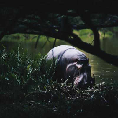 Nilpferde - groß und durchaus gefährlich für den Menschen