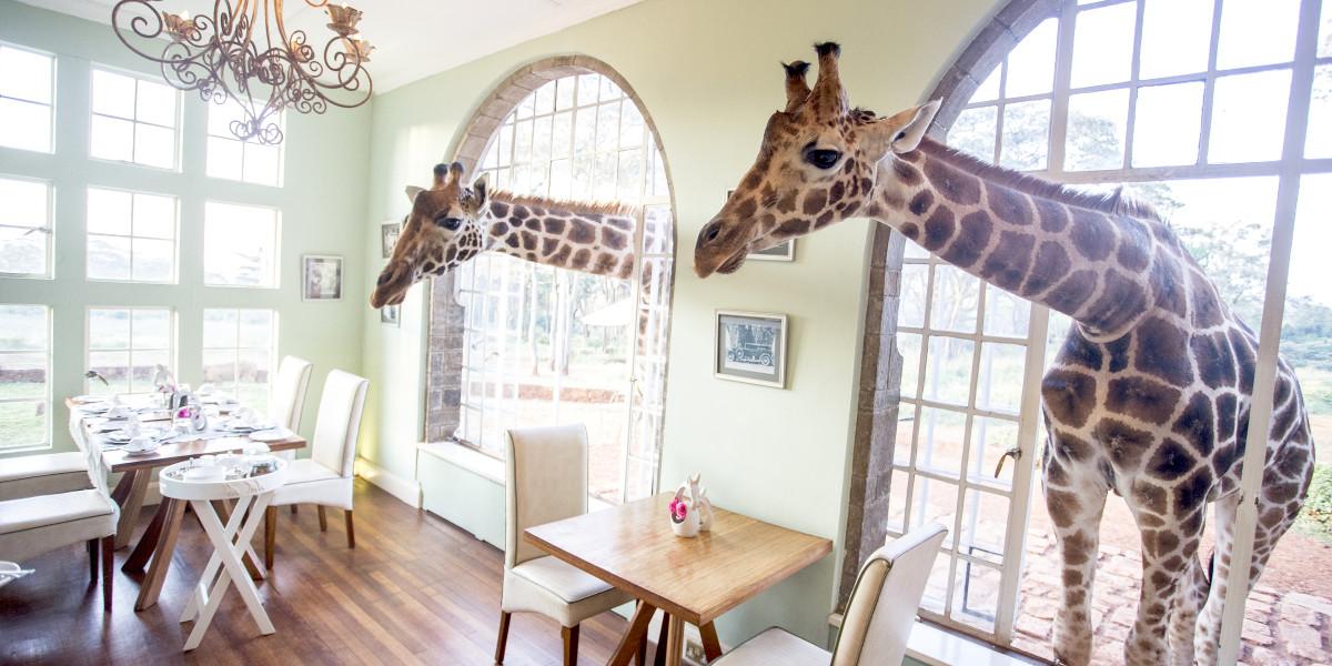 Giraffen beim Frühstück