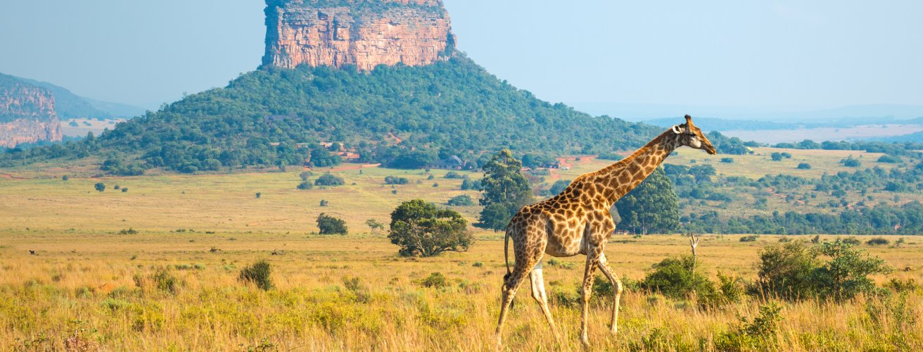 BWA.Giraffe Eine Giraffe