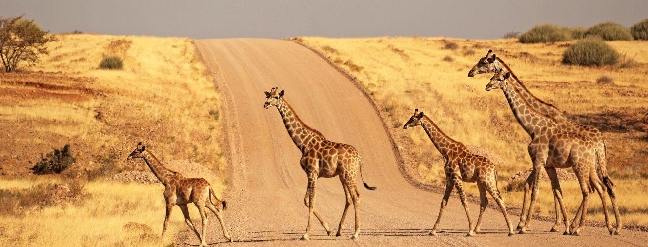 NA.Giraffen Eine Giraffen Familie