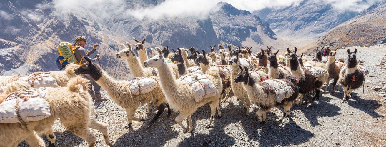 BO.Lama-Herde 2 Eine Lama Herde in den Bergen