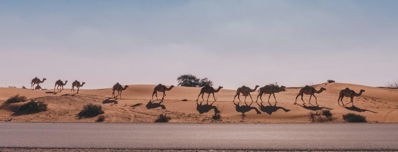 UAE.Kamele Kamele in einer Reihe