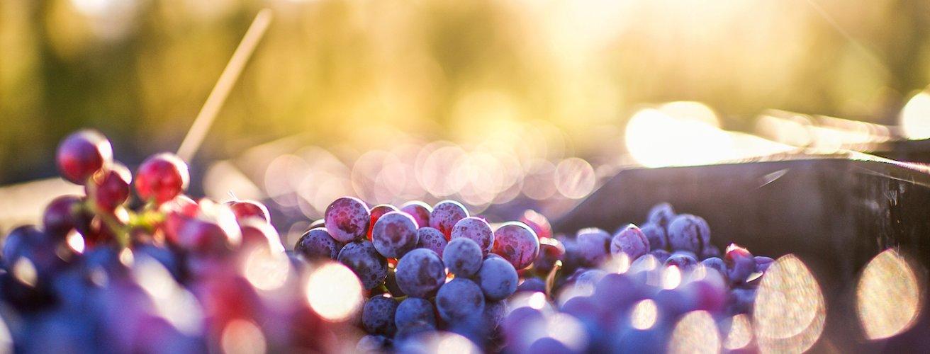 ZA.Trauben Rote Trauben auf einem Weingut.