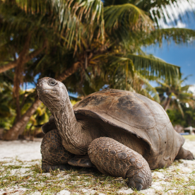 Riesenschildkröten in freier Wildbahn