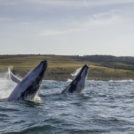 Whale Watching in der Walker Bay (Juli - Oktober)