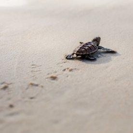 Babyschildkröten schlüpfen sehen (Jun - Sep)