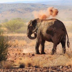 Entdecke die einzigartigen Wüstenelefanten