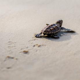 Babyschildkröten auf ihrem Weg ins Meer beobachten