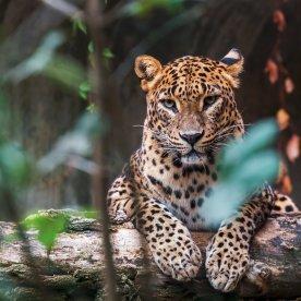 Auge in Auge mit Leoparden auf Safari